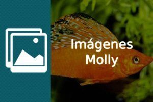 Imágenes pez Molly