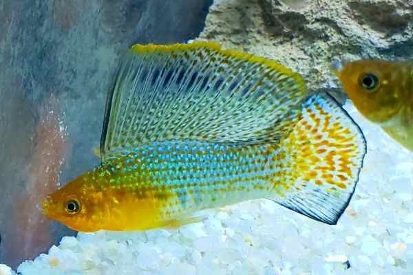 Molly Jumbo Green Sailfin Mollie