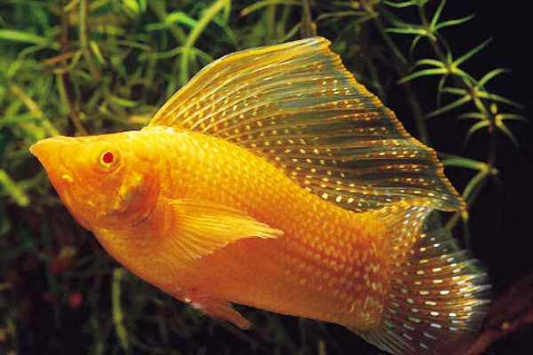 Molly Golden Sailfin