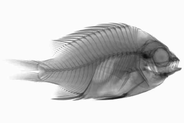 Taxonomía del pez