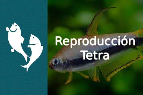 Reproducción del pez Tetra
