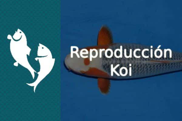 Reproducción del pez Koi