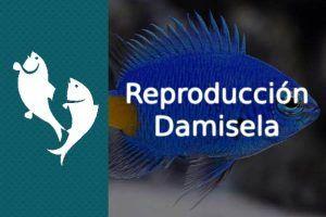 Reproducción pez Damisela