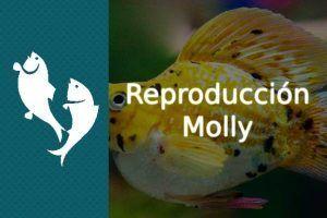 Reproducción pez Molly