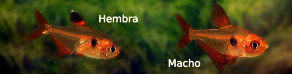 Tetra Rojo macho hembra