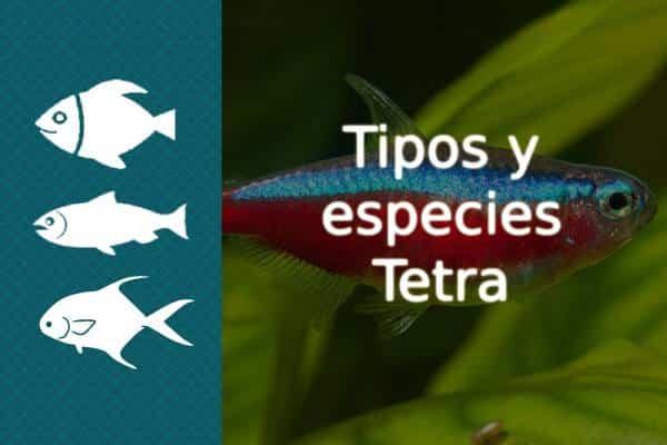 Tipos de pez Tetra