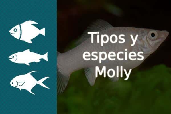Tipos pez Molly