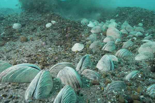 Almejas de Mar