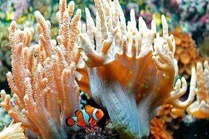 Anémona de Mar y pez payaso
