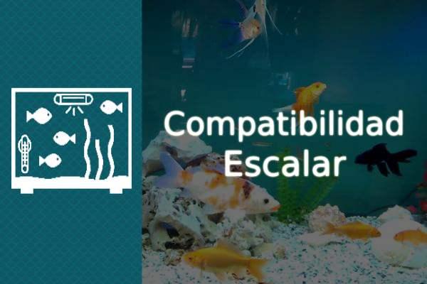 compatibilidad del pez escalar