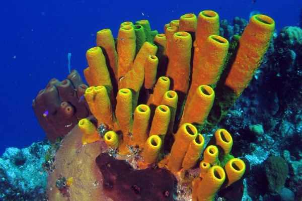Coral de Tubo