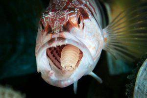 cymothoa exigua parásito en la lengua del pez payaso