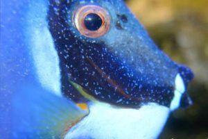 Ich marino o punto blanco marino Cryptocaryon irritans