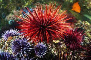 Invertebrado marino Erizo de Mar