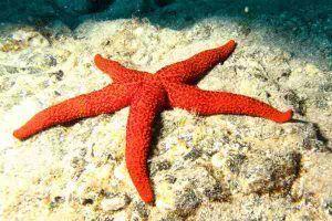 Invertebrado marino Estrella de Mar