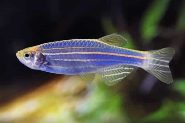 pez cebra 1