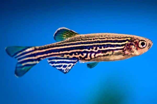 pez cebra 2