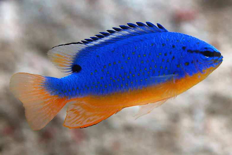Damisela Azul de Fiji
