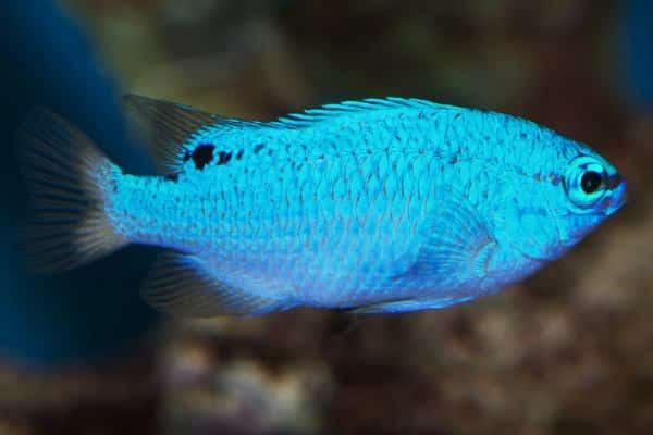Damisela Azul hembra