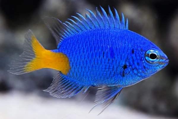 pez damisela Chrysiptera parasema
