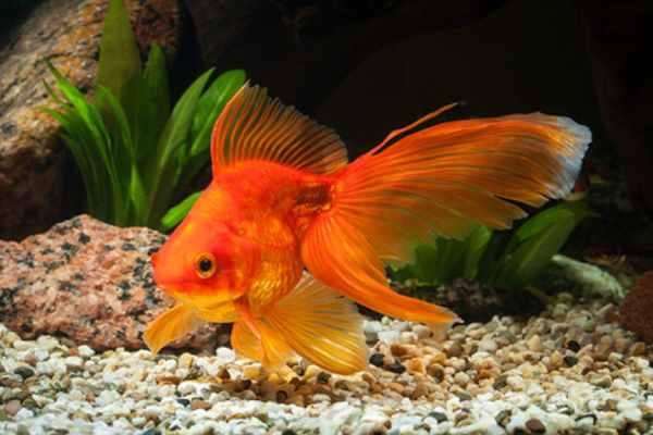 pez goldfish 1