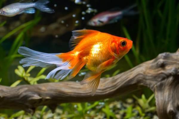 pez goldfish 2