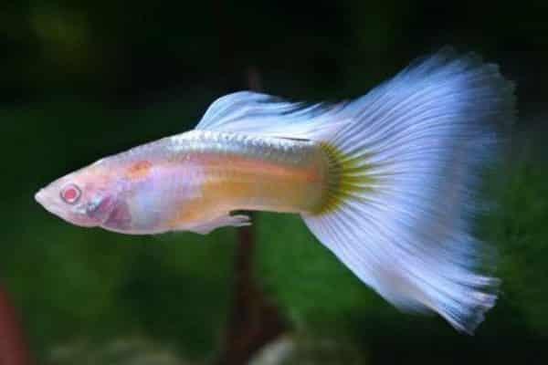 pez guppy albino 1