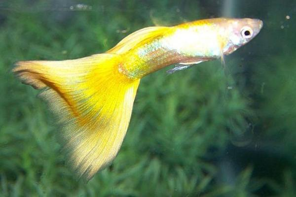 pez guppy amarillo 1