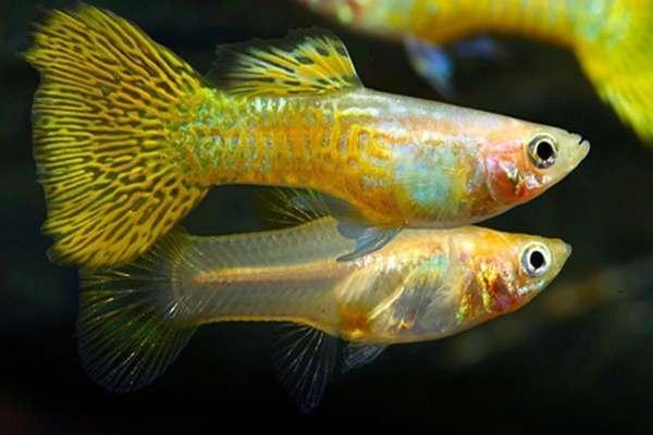 pez guppy amarillo 2