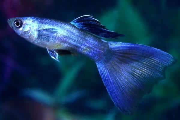 pez guppy azul 2