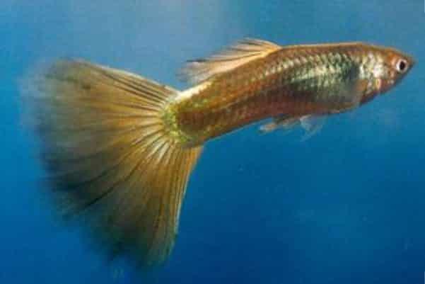 pez guppy bronce 1