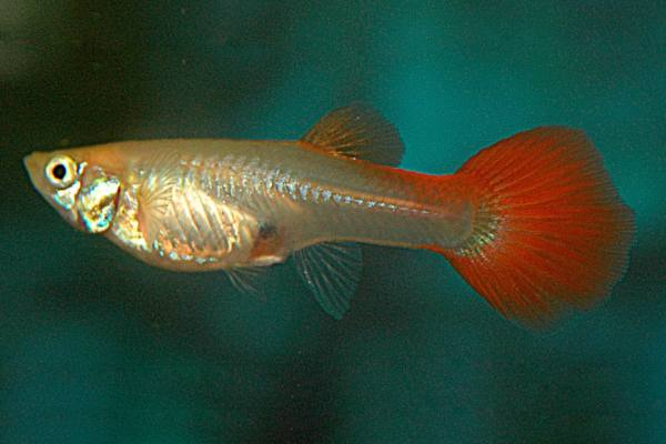pez guppy bronce 2