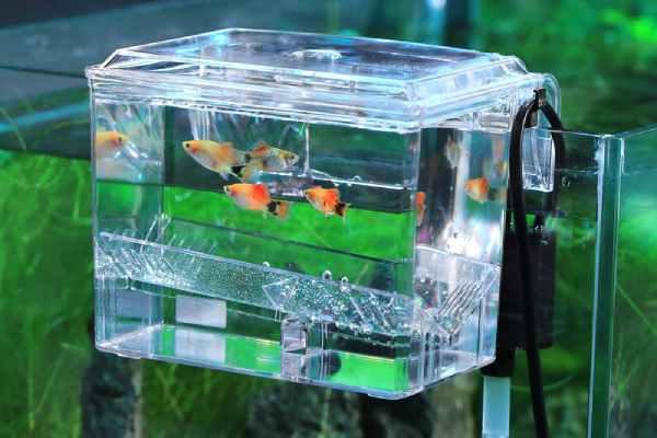 pez guppy caja de cria 2