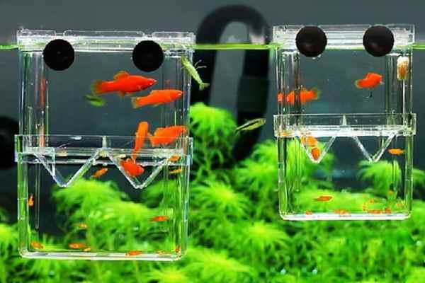 pez guppy caja de cria