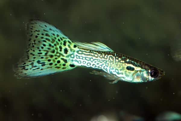 pez guppy cobra 2