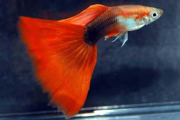 pez guppy cola delta 1