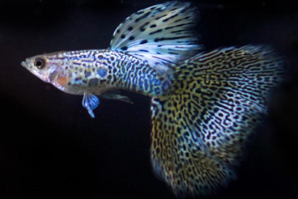 pez guppy cola encaje 2