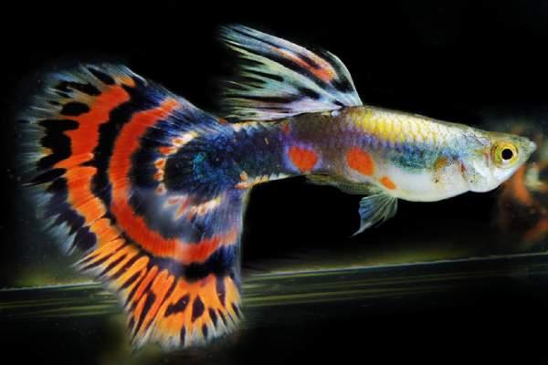 pez guppy cola mosaico 2