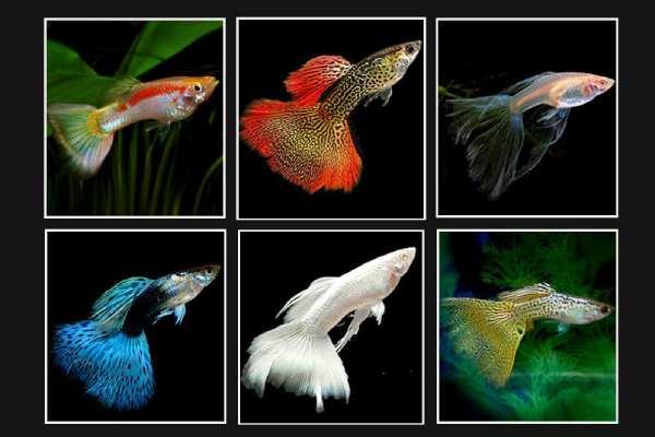 pez guppy colores 1