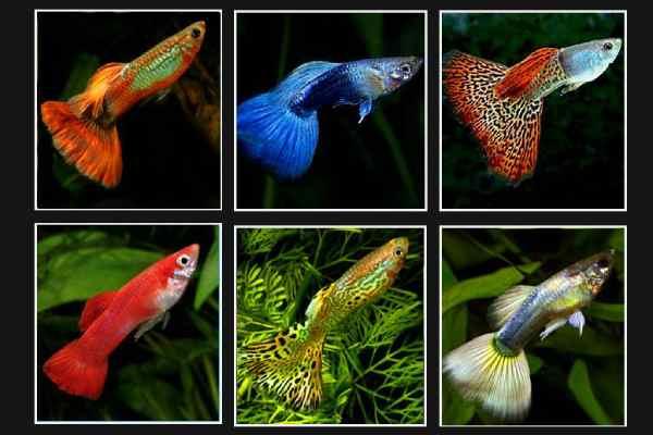 pez guppy colores 2