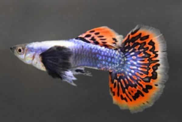 pez guppy dumbo 2