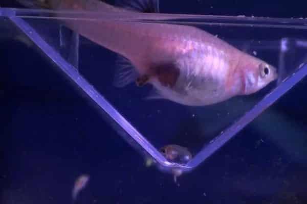 pez guppy embarazada 1