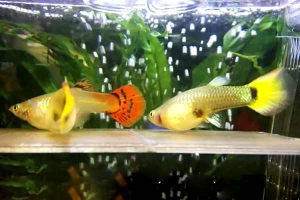 pez guppy embarazada 2