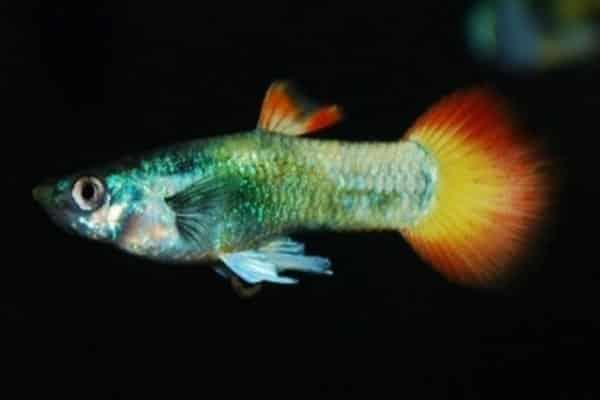 pez guppy firetail 1