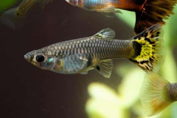 pez guppy gris 1