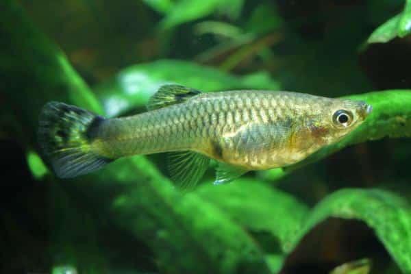 pez guppy gris 2