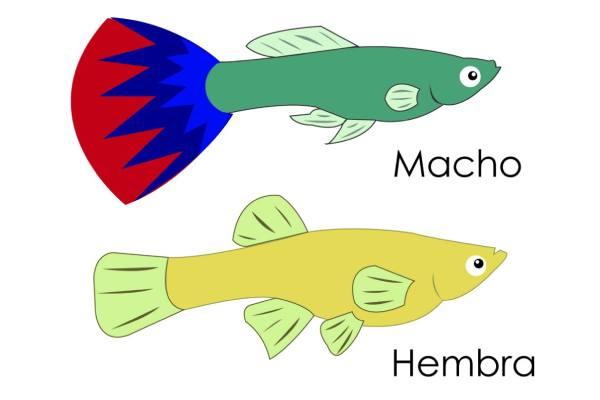 pez guppy macho y hembra 1