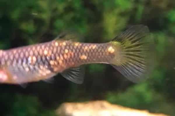 pez guppy mancha blanca 1