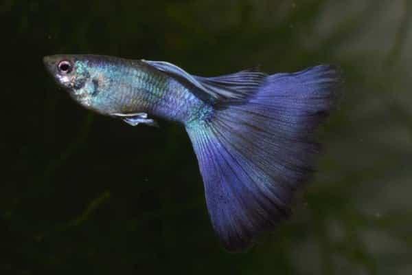 pez guppy moscow 2
