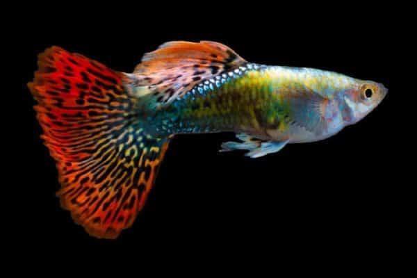 pez guppy multicolor 2